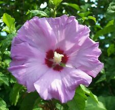 Rose of Sharon Purple Althea Healthy Established Shrub - 1 Plant in 1 Gallon Pot