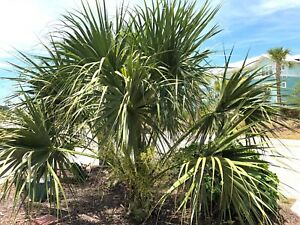 Sabal miamiensis 'Leu Garden' x Sabal mexicana: 50 Huge Seeds of Ultra Rare Hyb