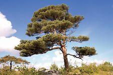 Scots Pine (Pinus Sylvestris) approx 46 seeds