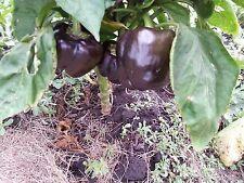 25 Organic Grown Purple Beauty Sweet Bell Pepper Seeds