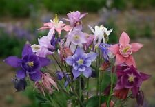 Columbine Seeds Aquilegia Seeds 100 Dwarf  European Columbine Seeds