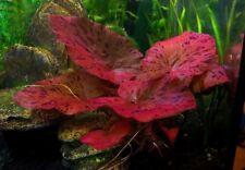 LARGE RED Nymphaea rubra water lily bulb live aquarium plant, shrimp safe