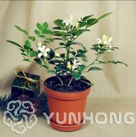 Garden Murraya Exotica Bonsai Potted Courtyard Forest Tree 100 Pcs Seeds NEW A L