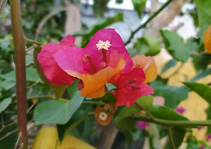 Bougainvillea Bicolor,plant rooty cutting