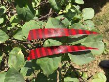 "50Pcs New Shield Turkey Feathers 5""Hunting Arrow Red Black Streak Fletching"