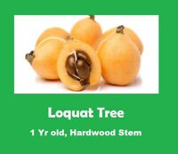 1 YR Old LOQUAT TREE, HARDWOOD STEM, MATURE LEAVES - STRONG ROOT SYSTEM