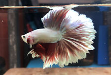 """Live Betta Fish : Male HM Red Dragon Butterfly (BIT032) : BO 1.5"""" From Thailand"""