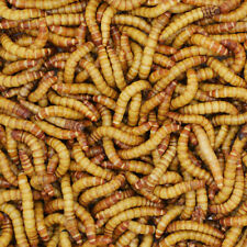 1000 Giant Mealworms Live - Free Shipping