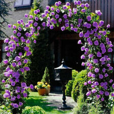 Purple Climbing Rose Seeds Flower Garden