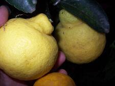 "Sanbokan sweet lemon , 3 fresh cuttings 6"", scion for grafting citrus"