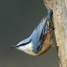 Nuthatch Sound Card - plays beautiful birdsong when opened!