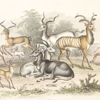 Antelope print antique Natural History hand coloured engraving J Stewart