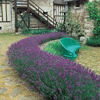 Lavender Seeds, Munstead Lavender, English Lavender, Heirloom Herb Seeds, 50ct