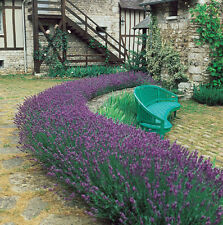 Lavender Seed, Munstead, Bulk Lavender Seed, Heirloom Perennial Herb Seeds 250ct