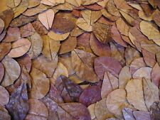 10 Large Indian Almond Leaves Terminalia Catappa Ketapang Shrimp Fish Aquarium