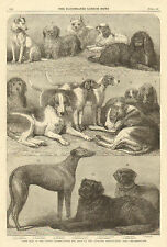 London, Prize  Dog Show, Fox Hound, Newfoundland, Blood Hound, Antique, Print