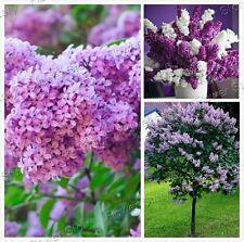 50 Purple Lilac Seeds - Syringa vulgaris Flowering Shrub Bush Small Tree Seeds