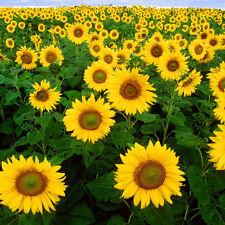 DWARF SUNFLOWER SUNSPOT HUGE SINGLE FLOWERED VARIETY WILDLIFE FRIENDLY 10 SEEDS