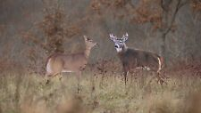 MONTANA DECOYS WHITETAIL BUCK AND DOE DREAM TEAM WHITETAIL DEER HUNTING