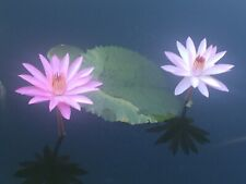 2 Pink Night bloomer Baby Tropical water lily, whole plant. shipping $14