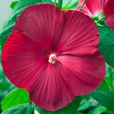 hardy hibiscus seeds for sale | eBay