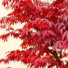 10 Pcs Charm Japanese Maple Tree Acer Palmatum Red Maple Seeds Garden Beauty