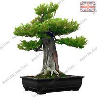 RARE Japanese Yew Tree Bonsai, Taxus Cuspidata - 10 Viable Seeds UK Seller