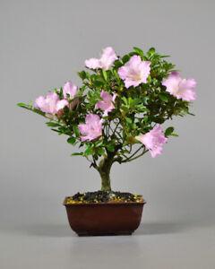 Outdoor Bonsai - Japanische Satsuki Azalee - Rhododendron indicum  / 21174
