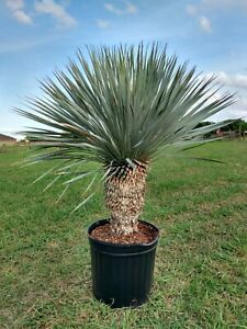 YUCCA ROSTRATA / Blue Beak - Plant / Cactus / Cacti #Y21-013