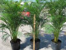 Areca Palm dypsis lutescens tree multiple trunks LARGEST ON EBAY