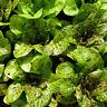 1/2 oz Romaine Lettuce Seed, Freckles, Heirloom Lettuce Seed, Bulk Seeds 10,000