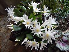 Easter Cactus - WHITE SIRIUS - Rhipsalidopsis - Succulent - 4 Double Segments