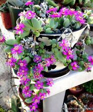 RARE ANTIMIMA TURNERIANA, exotic ice plant ruschia cactus mesembs seed -15 SEEDS