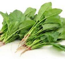 PERPETUAL SPINACH Beta vlugaris var cicla Beet superfood vegetable plants 100mm