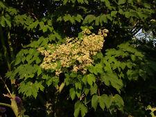 1 PLANT Firmiana simplex ALBERO DEI PARASOLI tree garden chinese parasol tree