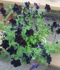 Petunia Black Flower Seeds