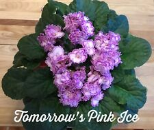 African Violet Plant - Tomorrow's Pink Ice=