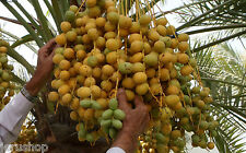 20 Medjool Dates Seeds Phoenix Dactylifera from Israel Palm Sweet fruit תמר تمار