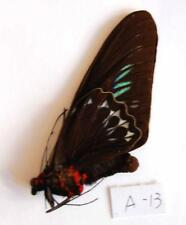 1 x unmounted Real Butterfly  specimens ORNITHOPTERA Trogonoptera brookiana A13