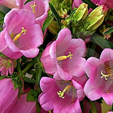 Pink Canterbury Bells Seeds, Heirloom Flower Seeds, Pink Flowers, Non-Gmo, 75ct