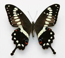 New listing Butterfly  x1 male Papilio menestheus  (Ghana)