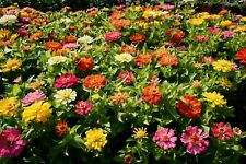 100Pcs Seeds Zinnia Flowers Beautiful Rare Kinds Plants Potted and Home Garden