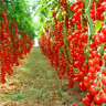 100 PCS Seeds Bonsai Tomato Plants Potted Vegetable Home Garden Free Shipping N