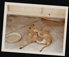 Old Vintage Photograph Two Adorable Baby Lion Cubs Playing In Yard 1978