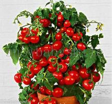 100 Red Bonsai Tomato seeds Mini Cherry Sweet Fruit Vegetable Organic Fresh