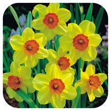 Daffodil Bulbs Narcissus 'Juanita' x 100 Early Spring Flowering Bulbs