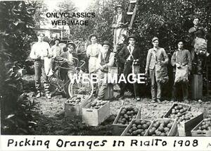 1908 ORANGE PICKERS IN RIALTO CALIFORNIA PHOTO BICYCLE FRUIT WORKERS IN FIELD
