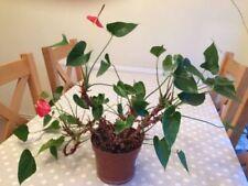 Medium (Desk/Floor) Tropical House Plants
