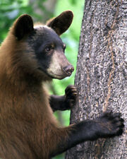 AMERICAN BLACK BEAR 8X10 PHOTO