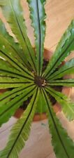 Rare Asplenium Antiquum 'variegatum' Variegated Bird Nest Fern